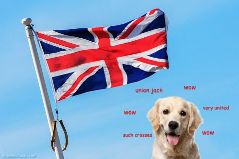 Labrador retriever with the Union Jack. Such crosses. Very united. Wow.