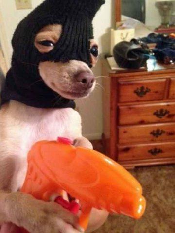 Cursed robber doggo wearing balaclava and holding a plastic gun. Wow.