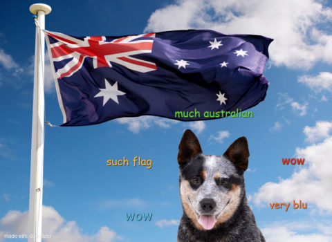 Australian cattle dog with an Australian flag. Such flag. Much Australian. Wow.