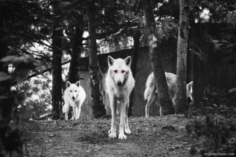 Scary Cursed Image: Three red eyed white demon wolfs in the woods.