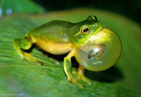 """Cheems eaten by a frog. He is crying for help from inside: """"Helmp""""."""