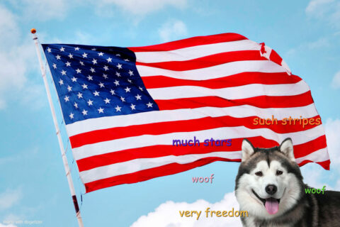 Alaskan Malamute with American Flag in the background. Much stars. Very freedom. Woof.
